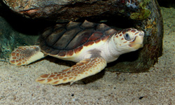 Faces of FADS: Loggerhead Sea Turtle